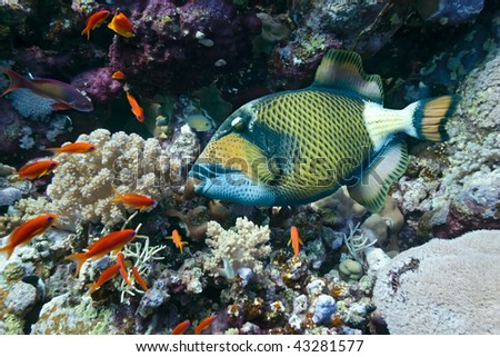 Titan Triggerfish on the coral reef