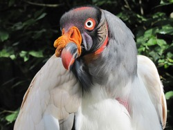 Titel: The king vulture (Sarcoramphus papa) is a large bird found in Central and South America. It is a member of the New World vulture family Cathartidae.