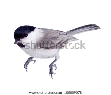 titmouse bird isolated on a white background. spring.