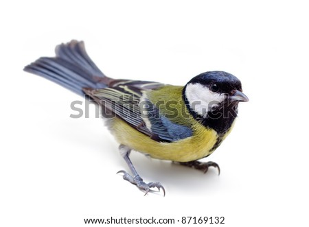 Titmouse bird on a white background close up