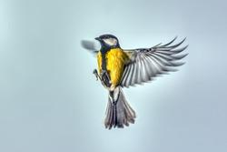Titmouse in flight.
