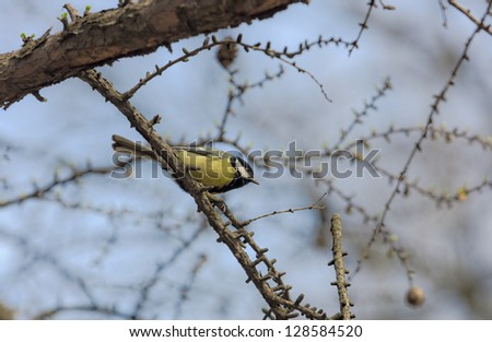 Titmouse in the spring on a larch branch
