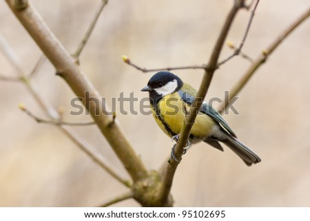 Titmouse on a branch of a spring tree with buds