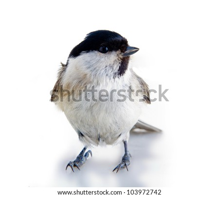 titmouse on a white surface on a white background. spring.