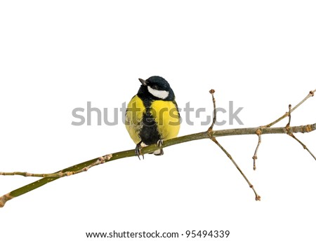 Titmouse on branch, isolated on white background - stock photo