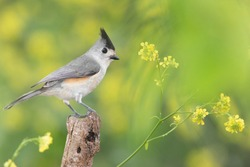 Titmouse perched on a branch in a backyard home feeder