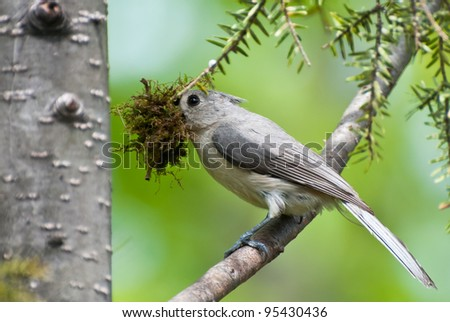 Titmouse with Nesting Material in Spring