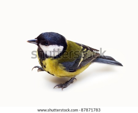 Titmouse yellow bird isolated  on a white background close up