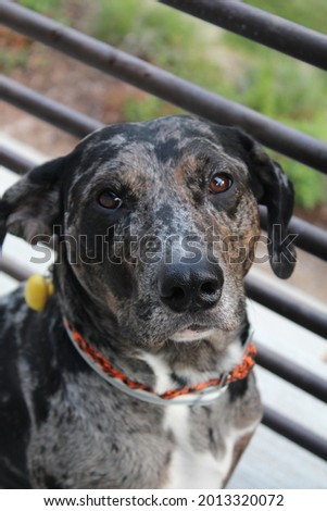 Tito the catahoula leopard dog  Stock fotó ©