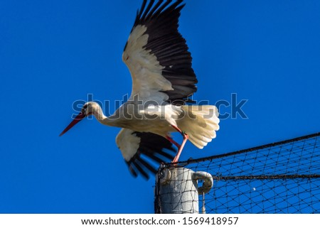 Titolo: Titolo: Storks are birds about 1 meter high and 3 kg in weight, they are migratory and monogamous animals. Storks don't have syrinx, so they don't make vocal sounds, make sounds by tapping the