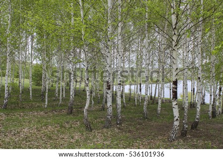 To blossom in spring birch grove on a background of lake