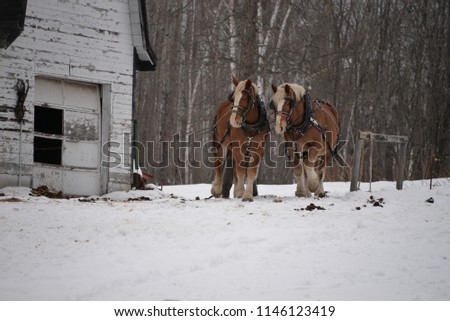 To Clydesdale horses in the winter by old barn