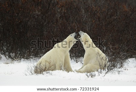 To compare the size to graze. Two polar bears are measured with each other in the sizes to graze.
