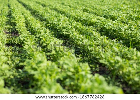 To improve the structure and fertility of the soil. Green manures field.  Photo stock ©