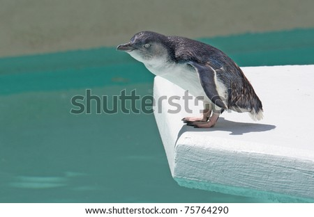 To jump or not to jump ... Fairy Penguin  (Eudyptula minor), also called Little Penguin, Little Blue Penguin, Blue Penguin, or Korora (from Maori language).