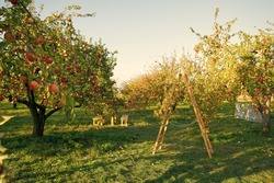 To plant garden is to believe in tomorrow. Apple garden. Apple trees grow in fruit garden. Garden trees on sunny day. Gardening. Orchard. Summer or autumn season. Harvest time.