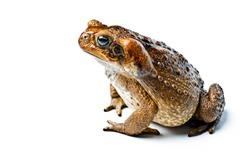Toad aga. Giant neotropical toad. Rhinella marina.Toad aga on white background, amphibians closeup isolated.