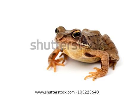 toad (Bufonidae)