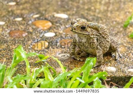 Toad (Bufonidae), Phuket, Thailand. Big bony headed toad or Spadefoot frog or Buffalo toad. Amphibian animal closeup.