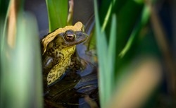 Toad (Bufonidae) sitting in pond surrounded by water plants