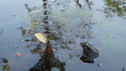 Toad in calm pond. Small toad sitting in bubbling water of tranquil pond in nature. Wildlife