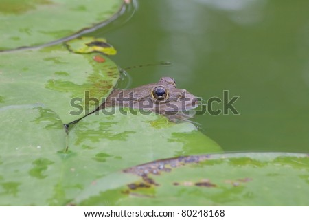 Toad in the pool,Thailand.