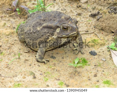 Toad is a common name for certain frogs, especially of the family Bufonidae, that are characterized by dry, leathery skin, short legs, and large bumps covering the parotoid glands