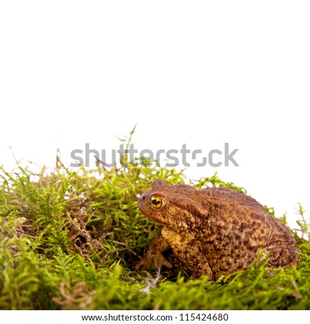 Toad is sitting on moss isolated on White Background
