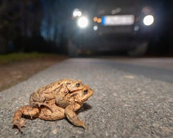 Toad migration - a pair of toads are about to cross a road driven by cars