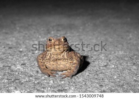 toad on the road. Dry, leathery skin, short legs animal