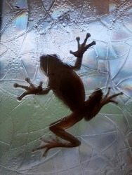 Toad or Frog stuck on front window after rainstorm