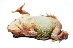 toad playing dead on white background