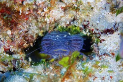 Toadfish hiding in the little cave under water