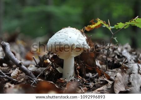 Toadstoll, a toxic mushroom Stock foto ©