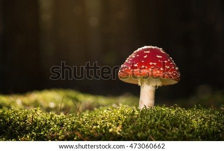 Toadstool, close up of a poisonous mushroom in the forest with copy space #473060662