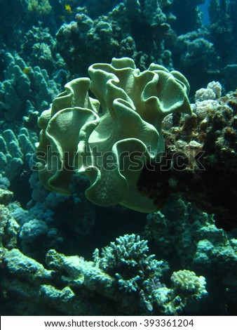 Toadstool Coral (Sarcophyton) in Red sea, Dahab, Egypt, Sinai. - Shutterstock ID 393361204