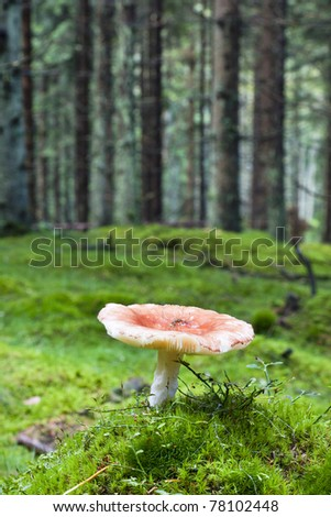 Toadstool growing in coniferous forest