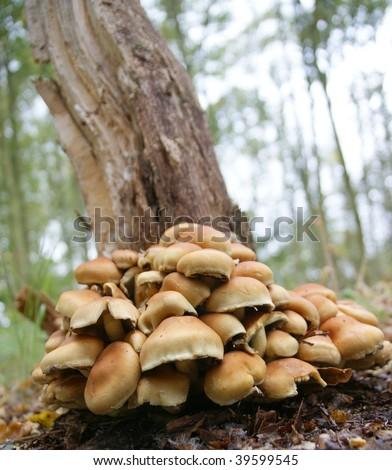 Toadstool / mushroom under a tree