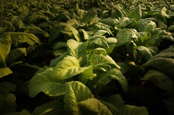 Tobacco big leaf crops growing in tobacco plantation field.Tropical Tobacco green leaf texture,for background