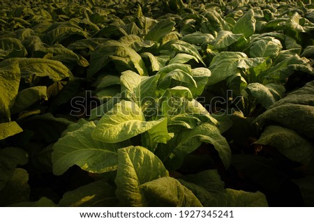 Tobacco big leaf crops growing in tobacco plantation field.Tropical Tobacco green leaf texture,for background Stock photo ©
