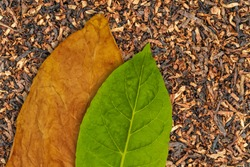 Tobacco dry leaf and tobacco green leaf on Tobacco dry background