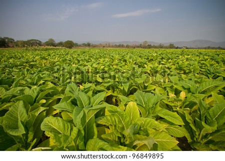 Tobacco farm.