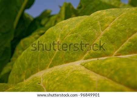 Tobacco farm. - stock photo