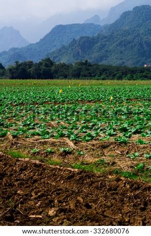 Tobacco farm, Young Tobacco plant in field, Farmer manure Tobacco plants #332680076