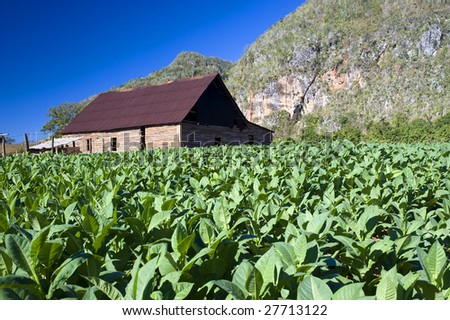 Tobacco field and drying house  in Vinales, Cuba