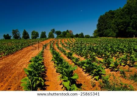 Tobacco Fields