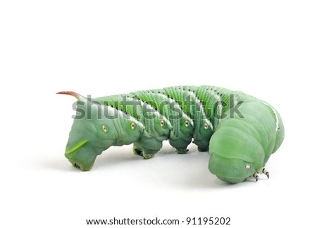 Tobacco Hornworm (Manduca Sexta) on a pure white background.
