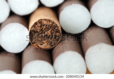 Tobacco in brown cigarettes close up
