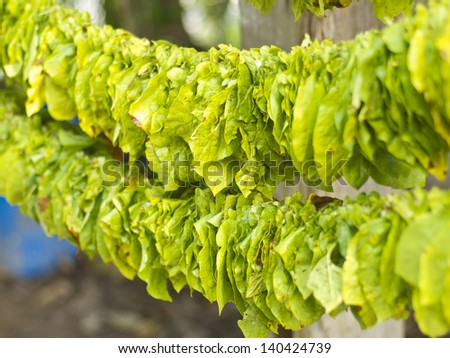 tobacco leaves in process to make them dry, traditional preparation in thailand