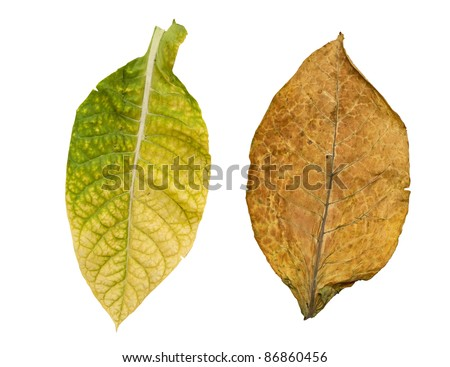 tobacco leaves isolated on white background